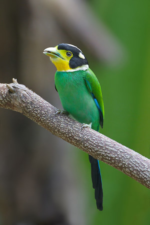 Long-tailed Broadbill