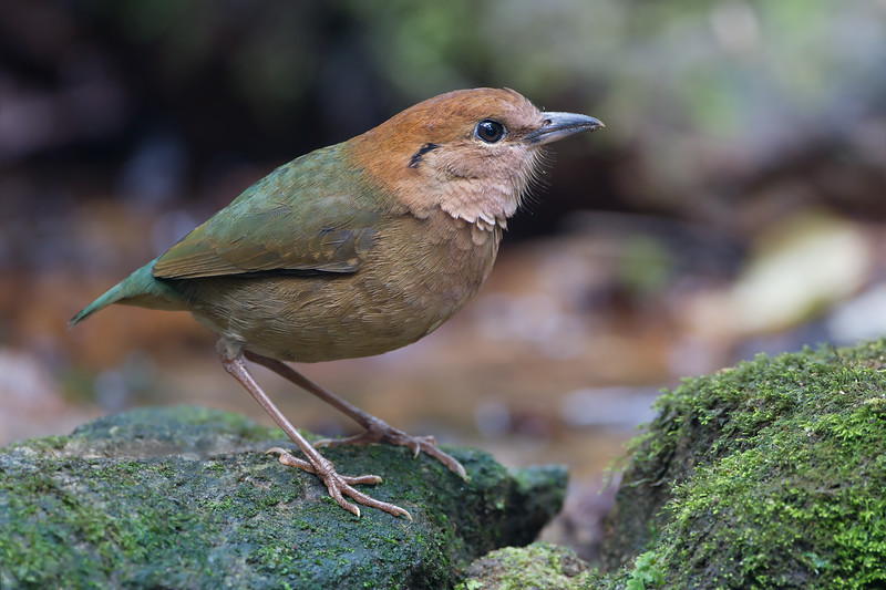 Rusty-naped Pitta male