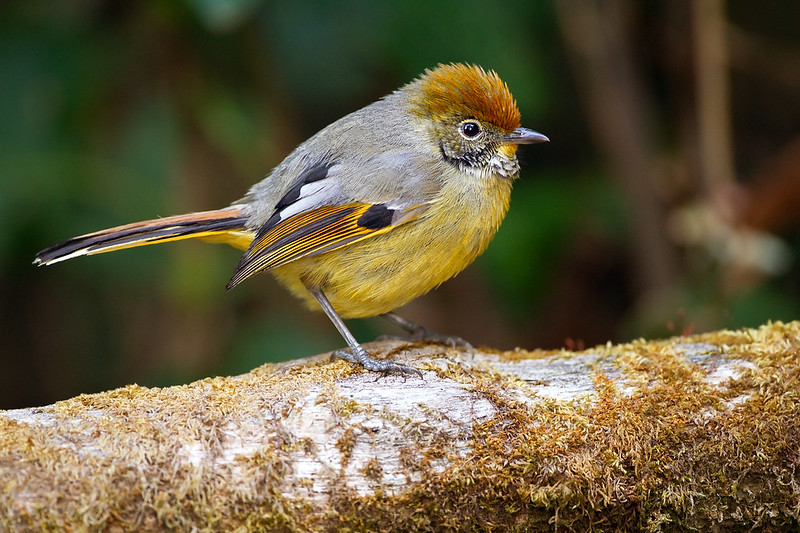 Chestnut-tailed Minla