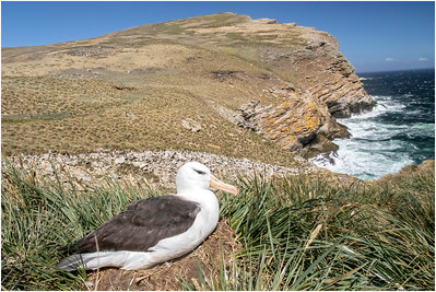 Black-browed Albatross, West Point Island, Falkland Islands 5 November 2017