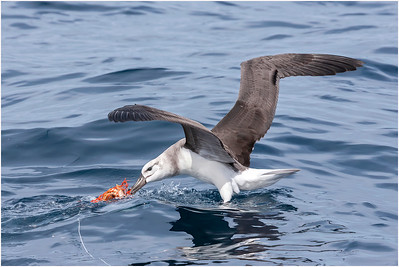 Black-browed Albatross, off Woollongong, Queensland, Australia 18 August 2007