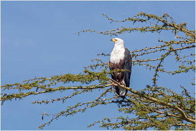 African Fish Eagle, Lake Baringo, Kenya, 5 November 2007