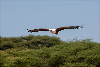African Fish Eagle, Lake Baringo, Kenya, 2 November 2007