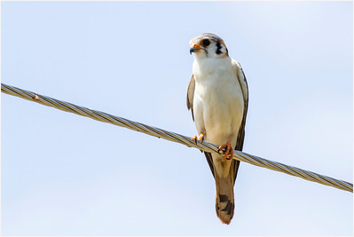 American Kestrel, Zapata, Cuba, 24 March 2009