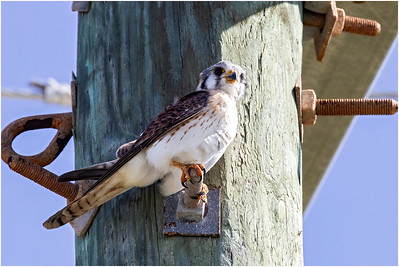 American Kestrel, Grand Turk, Turks and Caicos Islands, 6 January 2016