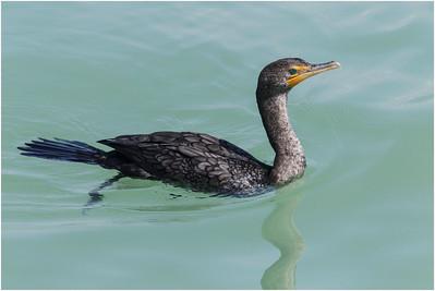 Double-crested Cormorant, Florida, USA, 27 February 2012
