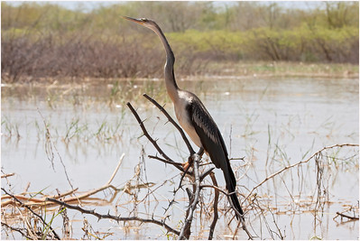 African Darter, Lake Baringo, Kenya, 2 November 2007