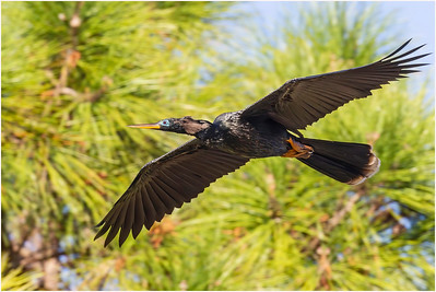 Anhinga, Florida, USA, 1 March 2012