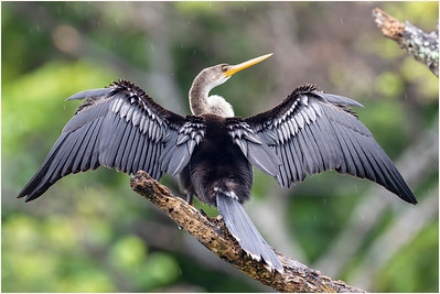 Anhinga, Trinidad, Trinidad and Tobago, 10 November 2014