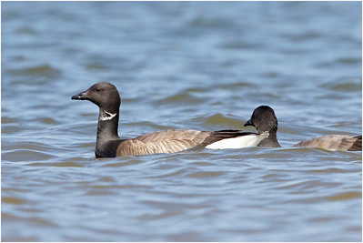 Brant Goose, Titchwell, Norfolk, United Kingdom, 22 May 2016