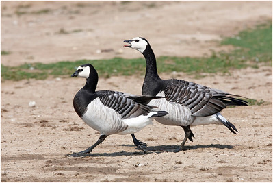 Barnacle Goose, Minsmere, Suffolk, United Kingdom, 21 May 2008