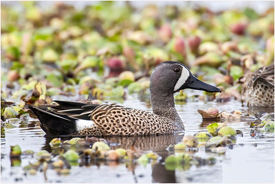 Blue-winged Teal, Florida, USA, 26 February 2012