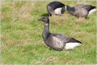 Brant Goose, Cley, Norfolk, United Kingdom, 27 January 2008