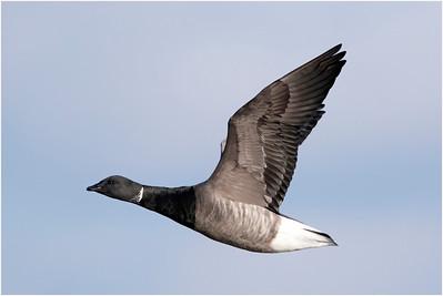 Brant Goose, Titchwell, Norfolk, United Kingdom, 11 November 2017