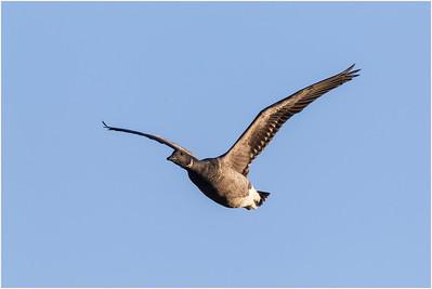 Brant Goose, Cley, Norfolk, United Kingdom, 2 January 2012