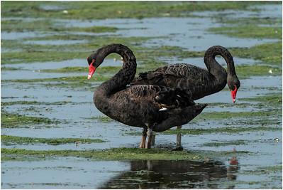 Black Swan, Christchurch, New Zealand, 6 December 2019