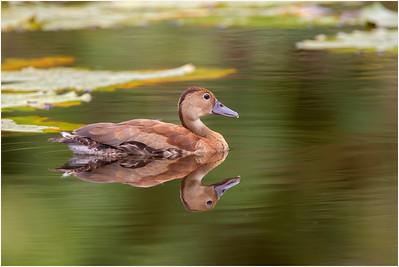 Black-bellied Whistling Duck, Tobago, Trinidad and Tobago, 10 November 2014