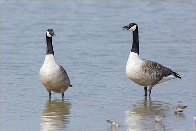 Canada Goose, Minsmere, Suffolk, United Kingdom, 13 April 2016