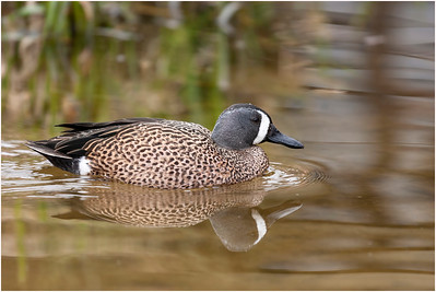Blue-winged Teal, captive, Pensthorpe, Norfolk, United Kingdom, 6 April 2007