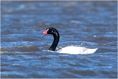 Black-necked Swan, Pebble Island, Falkland Islands, 12 November 2017