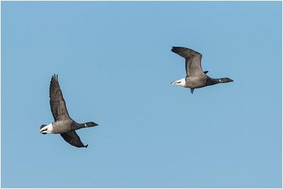 Brant Goose, Cley, Norfolk, United Kingdom, 1 February 2012