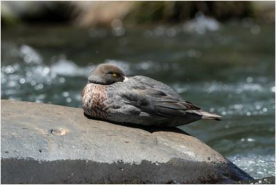 Blue Duck, Tawhai Falls, North Island, New Zealand, 23 November 2019