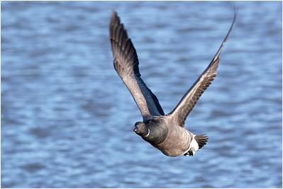 Brant Goose, Titchwell, Norfolk, United Kingdom, 19 November 2017