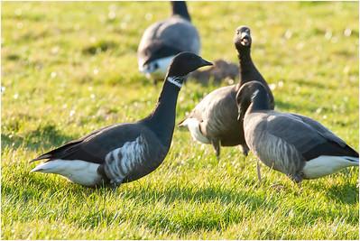 Brant Goose, Wells, Norfolk, United Kingdom, 14 March 2007