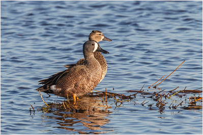 Blue-winged Teal, Florida, USA, 1 March 2012