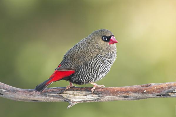 Beautiful Firetail male
