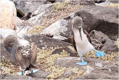 Blue-footed Booby, Espanola Island, Galapagos Islands, 14 January 2007