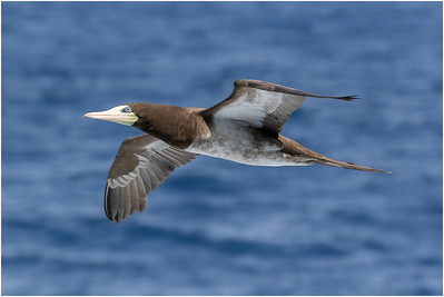 Brown Booby, at sea, Brazil, 14 February 2018