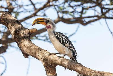 Eastern Yellow-billed Hornbill, Samburu, Kenya, 29 October 2007