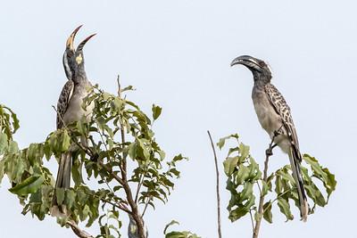 African Grey Hornbill, Makasutu, Gambia, 28 November 2017