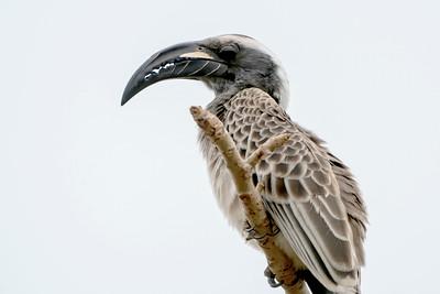 African Grey Hornbill, Makasutu, Gambia, 23 February 2020