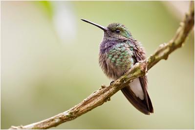 Black-chested Hummingbird, Rio Silanche, Ecuador, 2 November 2013