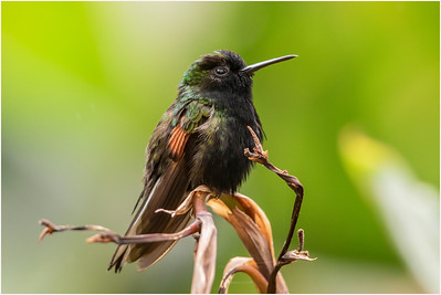 Black-bellied Hummingbird, La Paz waterfall, Costa Rica, 24 March 2019