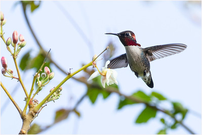 Bee Hummingbird, Zapata, Cuba, 26 March 2009
