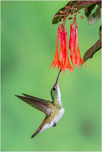 Andean Emerald Hummingbird, Tandayapa, Ecuador, 28 October 2013