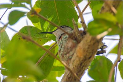 Bee Hummingbird, Zapata, Cuba, 26 March 2009