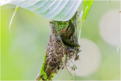Band-tailed Barbthroat Hummingbird, La Selva, Costa Rica, 4 April 2018