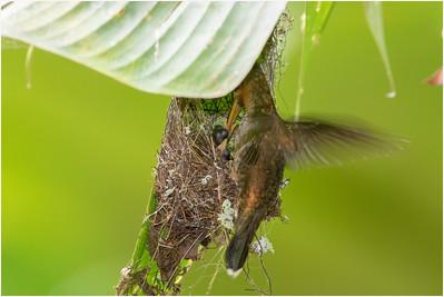 Band-tailed Barbthroat Hummingbird, La Selva, Costa Rica, 5 April 2018