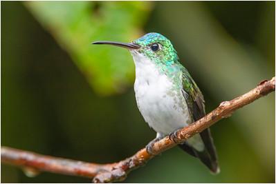 Andean Emerald Hummingbird, Tandayapa, Ecuador, 30 October 2013