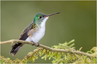Andean Emerald Hummingbird, Tandayapa, Ecuador, 29 October 2013