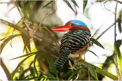 Banded Kingfisher, Cat Tien, Vietnam, 29 November 2012