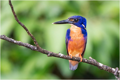 Azure Kingfisher, Daintree, Queensland, Australia, 10 January 2020