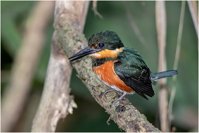 American Pygmy Kingfisher, Guapiles, Costa Rica, 28 March 2019