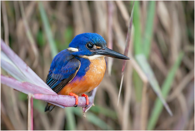 Azure Kingfisher, Daintree, Queensland, Australia, 5 August 2007