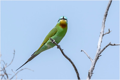 Blue-cheeked Bee-eater, Makasutu, Gambia, 28 February 2019