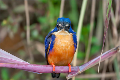 Azure Kingfisher, Daintree, Queensland, Australia, 5 August 2007